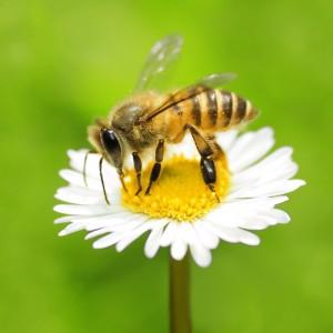 bijenbloem